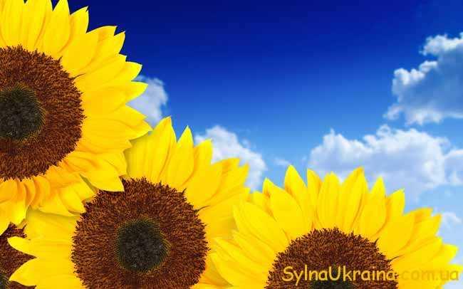 соняшники і небо