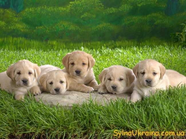 2018 – це рік жовтого земляного собаки