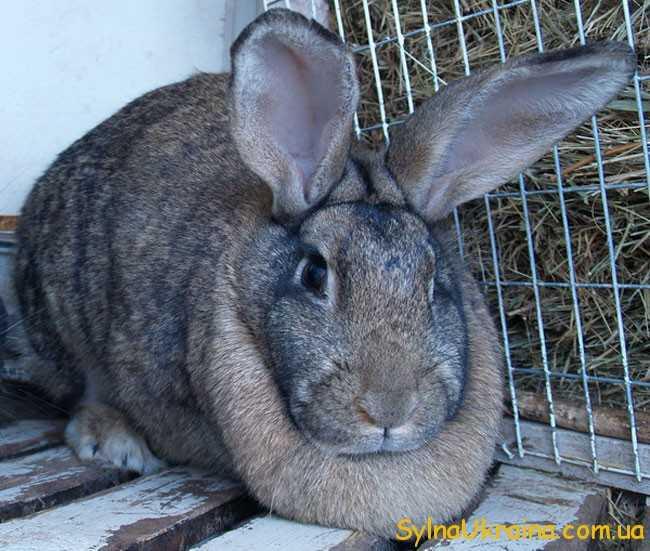 Представникам Кроликів
