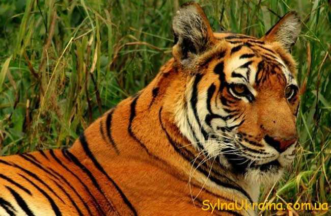 Представники сильних Тигрів