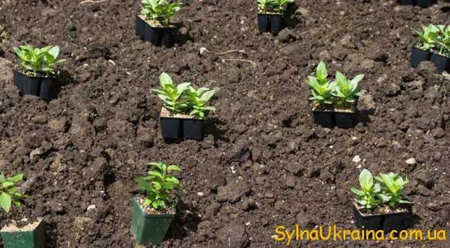 у травні необхідно як слід зволожувати ґрунт