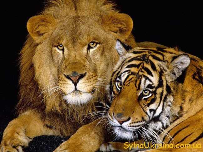 Весільний прогноз для Левів