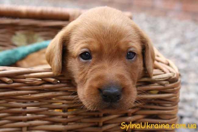 милий пес