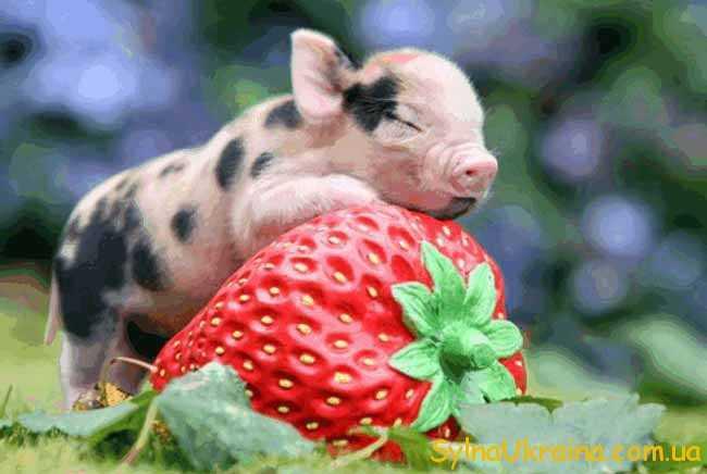 Гороскоп для Свині