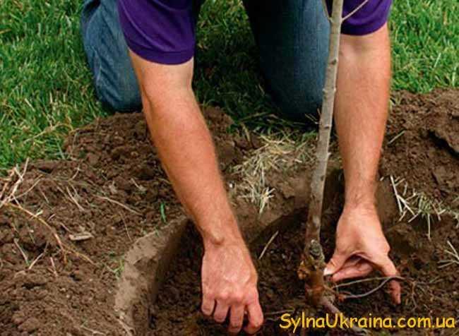 Добре приживуться та принесуть хороші плоди дерева