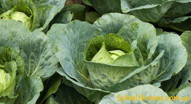 можна висаджувати деякі овочі, наприклад, капусту