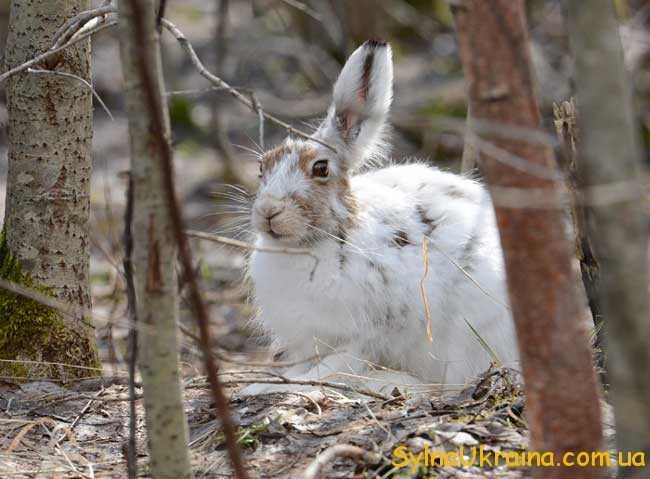 Зайчики швиденько замінюють свої осінні шубки
